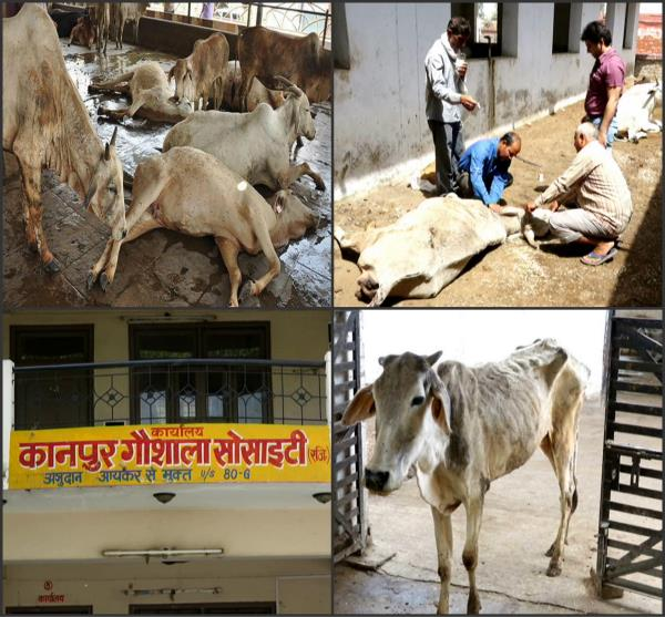 cows being kept in the country biggest cows starving 4
