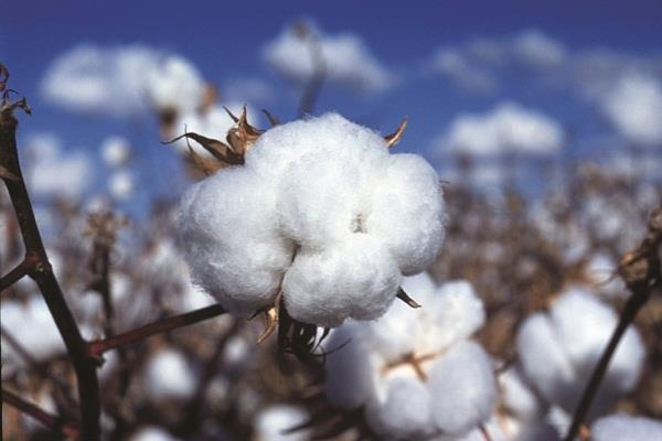 cotton  stocking billions of rupees against many stockists