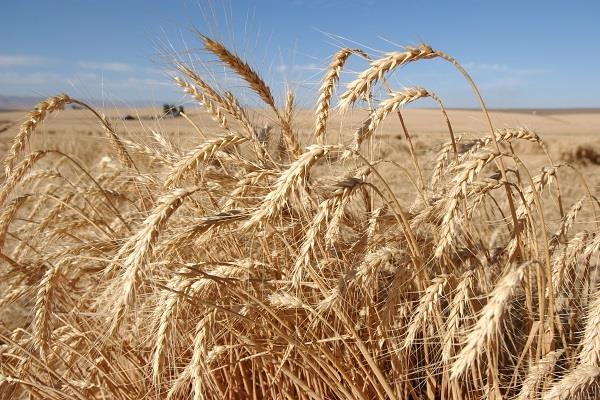new crop of wheat yield will be made in crop year 2016 17