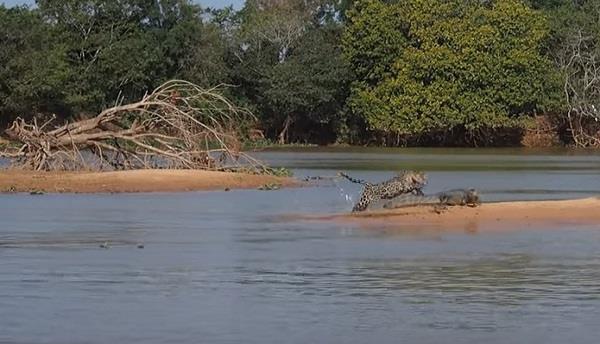 jaguar attack crocodile