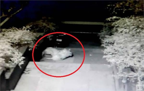 leopard attacks on dog in the premises of bombay veterinary college