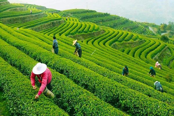 darjeeling strike strikes tea exports