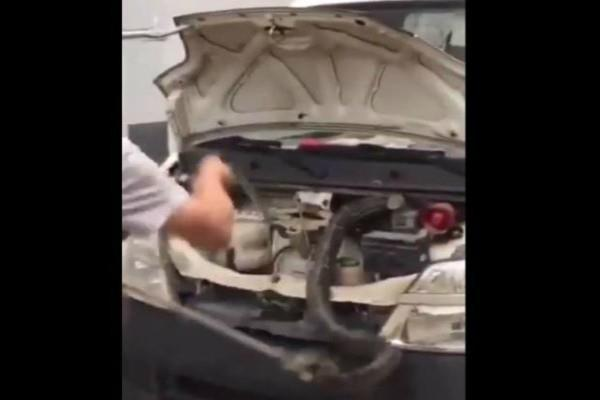 10 feet long king cobra pulled out from a car see video
