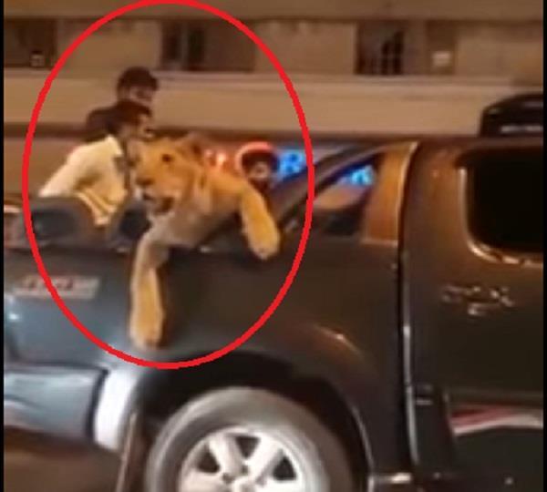 lion in the roads of karachi pakistan