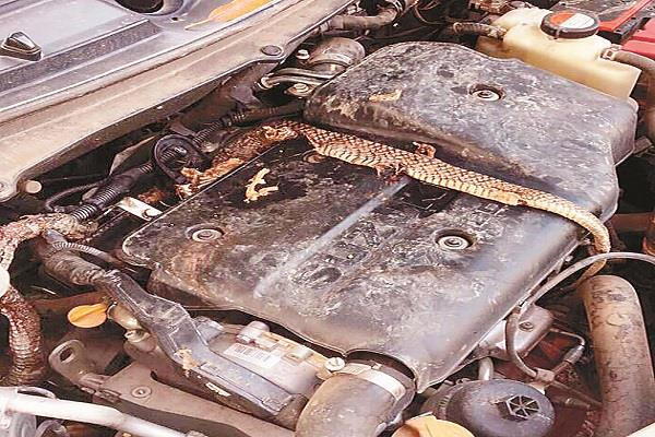 a 6 foot tall snake knocked out of a car bonnet