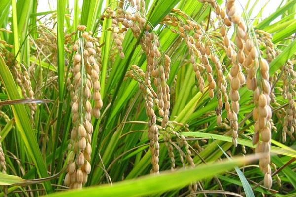 rice paddy saves 23 percent of pulses