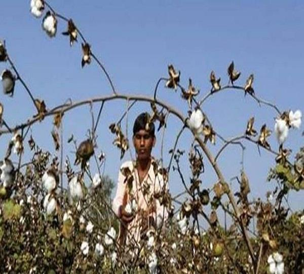 whitefly attack fears grow in punjab  s cotton belt