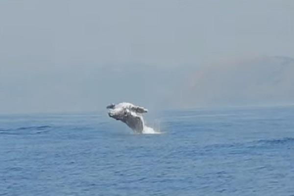 humpback whale flying out of water video viral