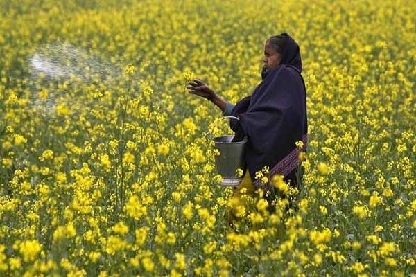 no policy decision yet on gm mustard crop  centre to supreme court