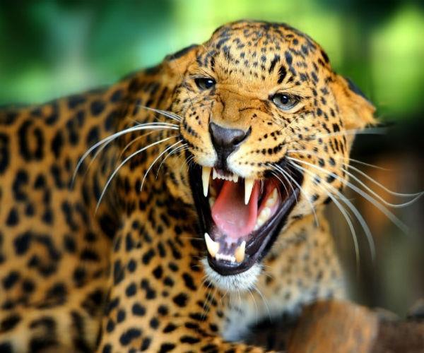 pilibhit tiger panic in urban areas administration warns