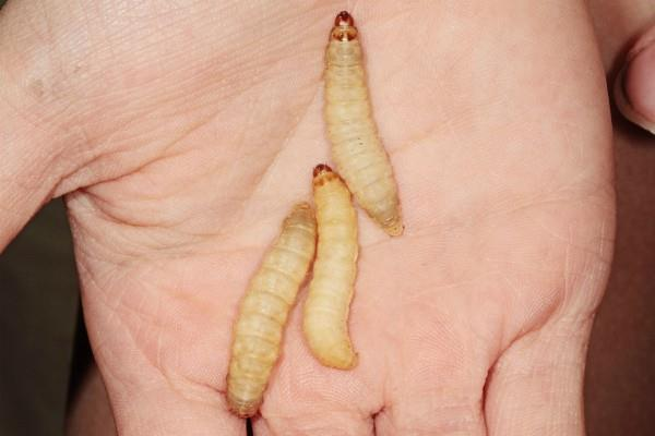 wax worm caterpillar could eat plastic bags