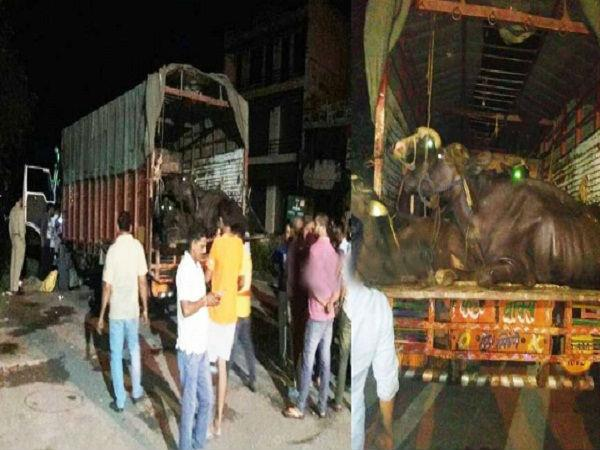 devbhomi in legs spreading stayed animal smuggling business