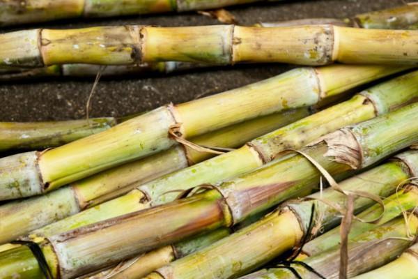 crushing of sugarcane will start early in uttar pradesh