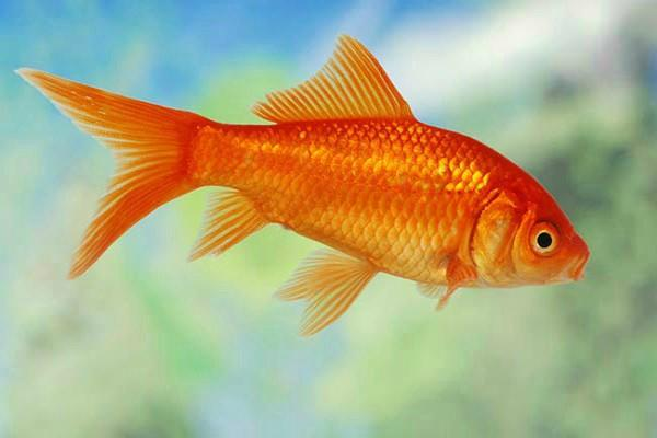 goldfish turn to alcohol to survive harsh winter in icy lakes