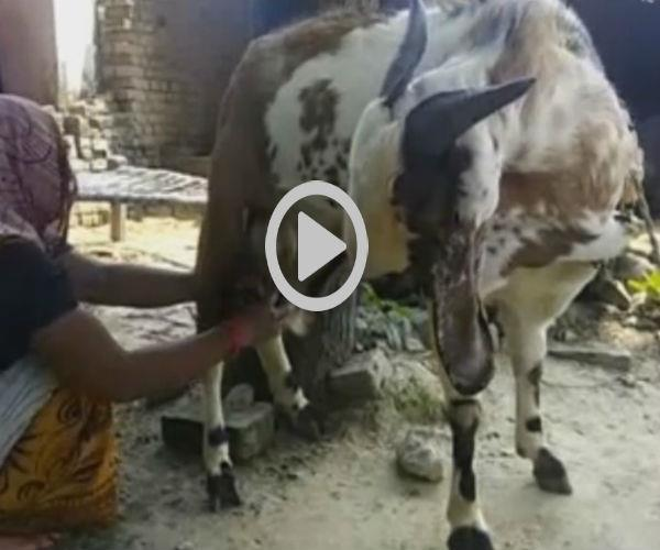 this goat is giving daily milk  people are wondering