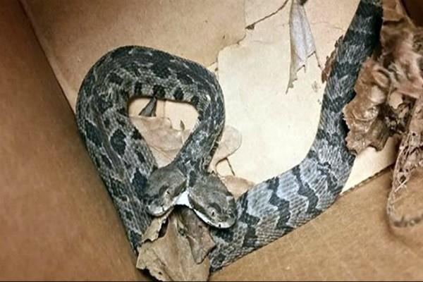 rare two headed rattle snake found in us pics go viral