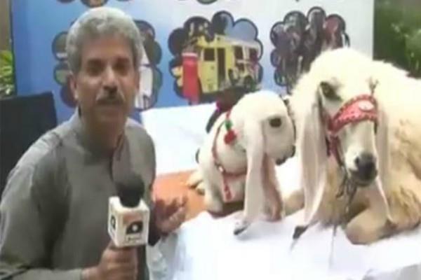 pakistani journalist amin hafeez interviews to goats after buffalo