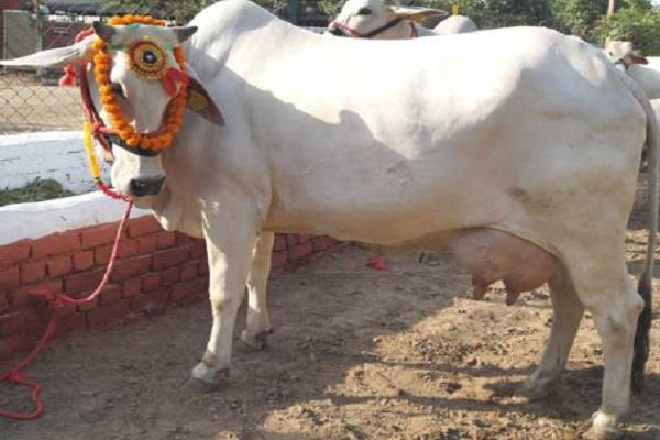 a native cow made by 20 6 kg of national record