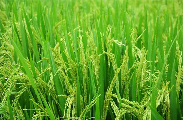 government procurement of paddy and millet started today