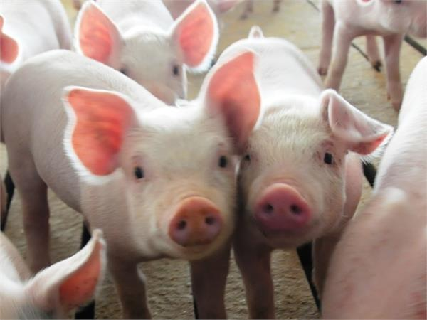 china s pigs and hens are suffering with us trade war