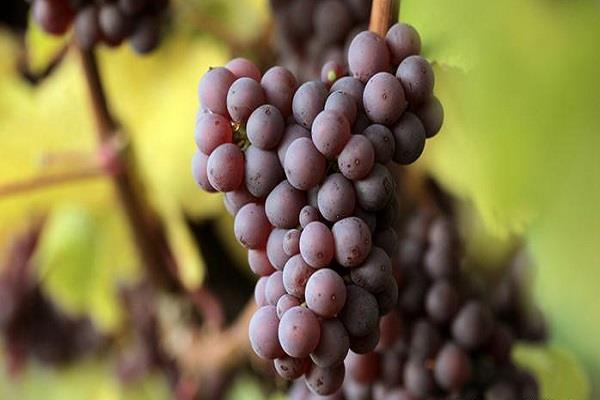 thieves stole an entire vineyard of grapes