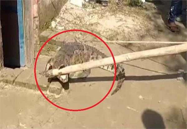 crocodile enters the farmer s house then