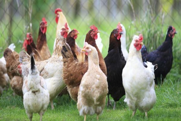 poultry products price increase by 51 percent