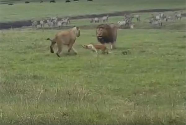 lion vs dog fight in tanzanian tundra where dog run up to a pair of lions
