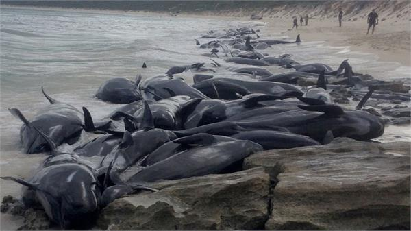 145 pilot whales die in mass stranding in new zealand