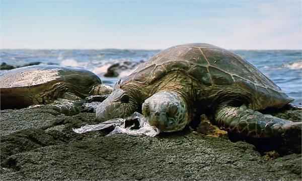 microplastics found in all sea turtle species
