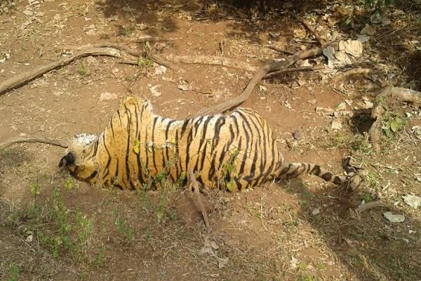 now the body of the tiger found in ratapani part of the victim