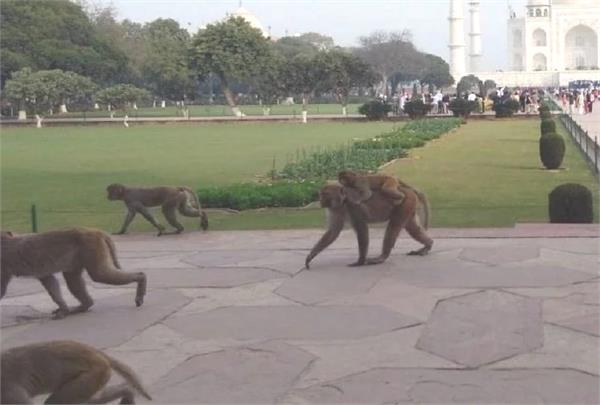 terror of monkeys in taj city demand of action by tourism industry