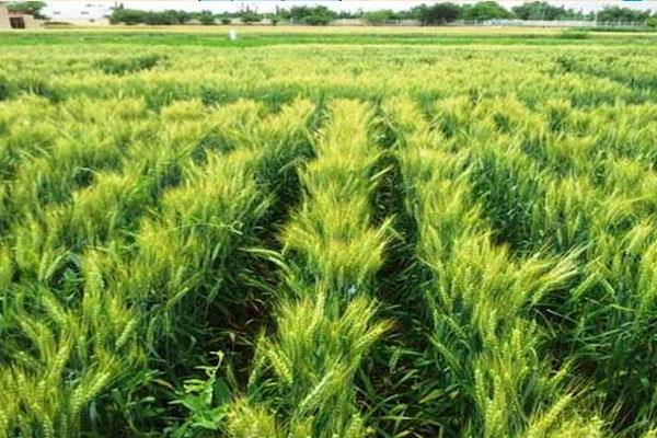 karnal bunt disease may be attacked on wheat crop in february