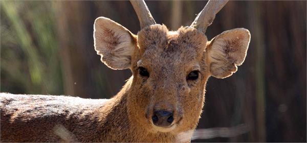 rare hog deer sub species discovered in india in wildlife populatio