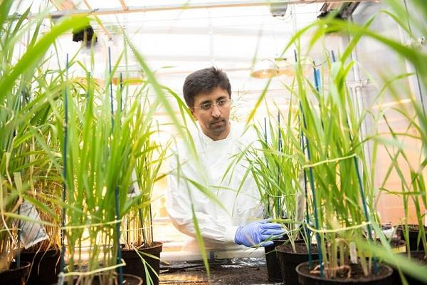 indian scientist in uk hopes to grow rice safely in arsenic soil