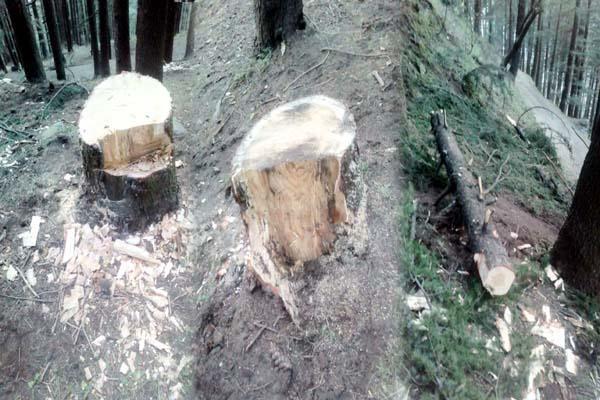 forest mafia cut trees of god goddesses