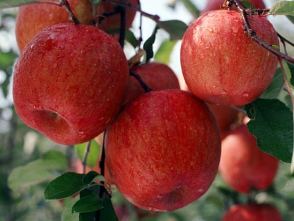 apple of china on import duty to finish of pressure