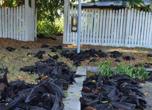 hundreds of   boiled   bats fall from sky in australian heat wave