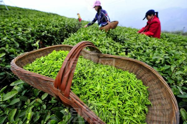 india tea export at 36 year record level