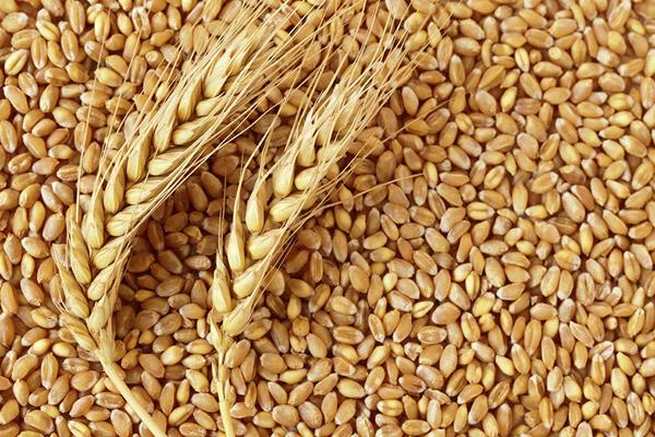 punjab government approves wheat purchase policy