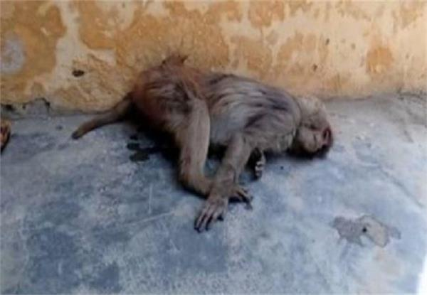 up hundreds of monkeys killed in forest department