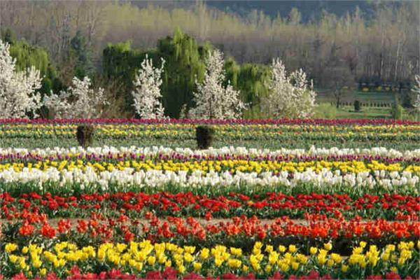 tulip garden thrown open for tourist in kashmir