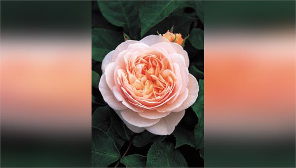 the price of this rose is 90 crores