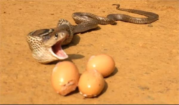 cobra throws up 7 eggs of hen