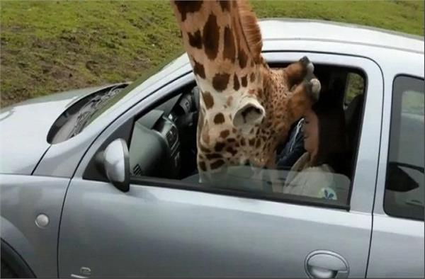 giraffe does not tolerate hunger