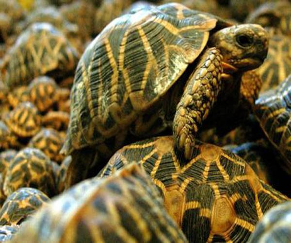 turtles sacrificed for the sake of  chips  soup sold in millions