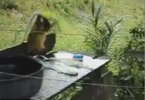 married monkey video viral on social media