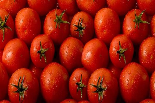 tomato prices rises from good production farmers suffer trouble