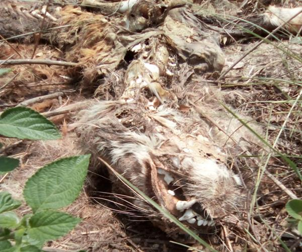 tiger deaths continue in up now tiger s skeleton found in tiger reserve