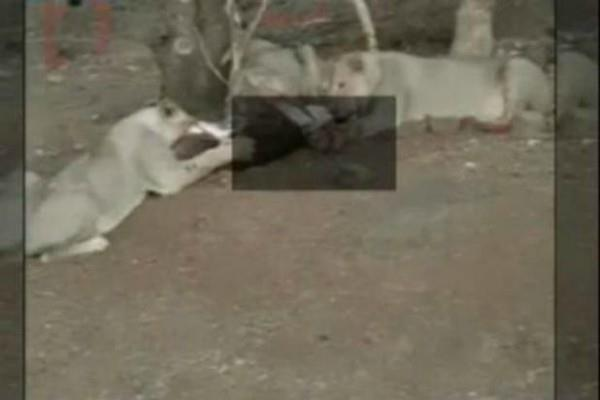 humiliated 3 lions in hunting man scared